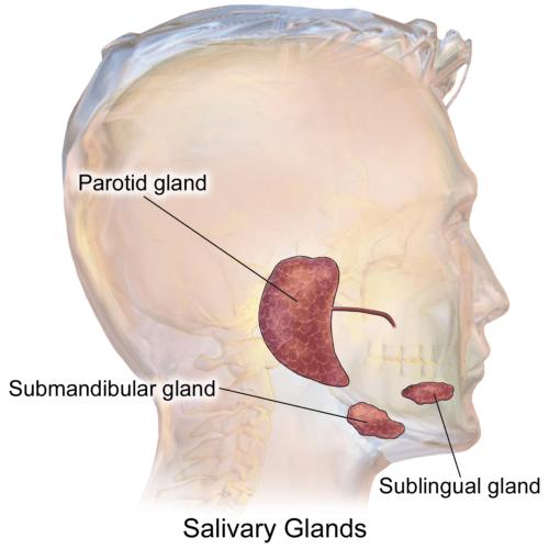SalivaryGlands