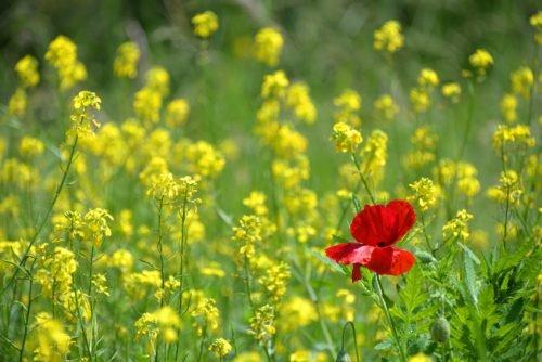 poppy 1819645 1920